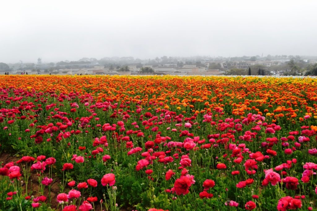 Flower Fields To Visit In Spring The Chocolate Voice